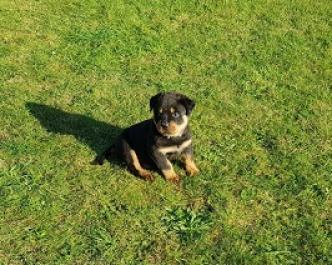 Regalo Magnífico Cachorros Rottweiler