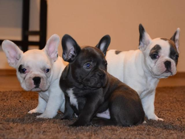 Bulldog Francés de diferentes edades y colores regalo rt