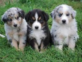 Regalo Cachorros border collie disponibles