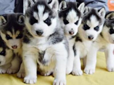 Regalo Casa tren Cachorros Husky Para Su Adopción