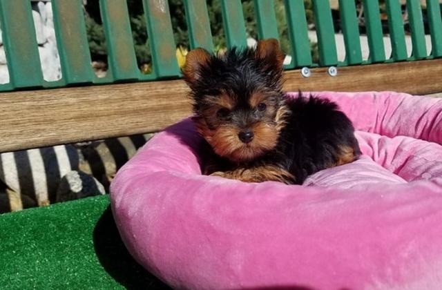 Regalo Yorkshire Terrier Cachorros Para la Adopción