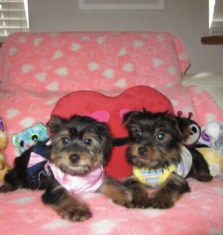 Regalo Cachorros Yorkshire Terrier Mini To para su adopcion