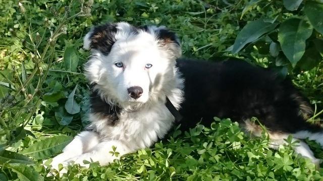 Preciosos cachorros de Border Collie