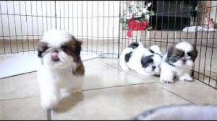 Regalo Lindo y adorable cachorros de Shih Tzu mini toy