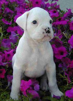 Regalo Adorable Cachorros Boxer