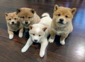 Regalo Excelente cachorros Shiba Inu