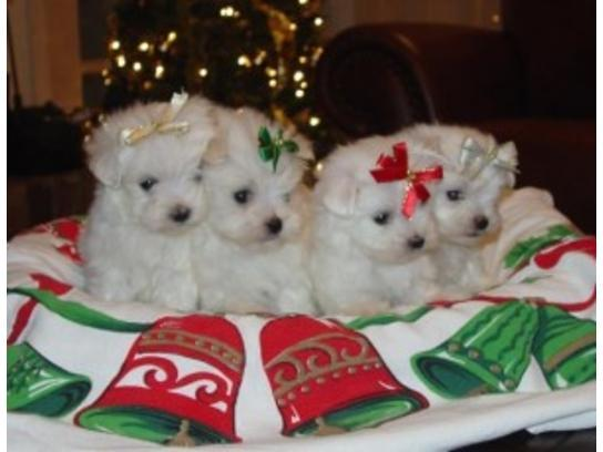 Regalo gratis bichon maltes cachorros toy mini