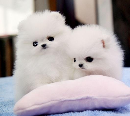 Regalo Cachorros Lulu Pomeranian Mini Toy para su adopcion libre,