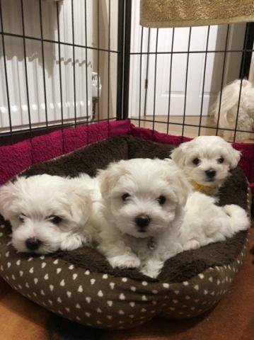 Regalo cachorros de bichon maltes en adopción