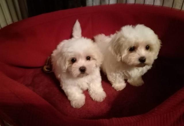 Regalo cachorritos de bichon maltes