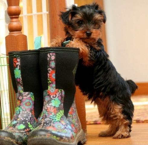 Regalo yorkie de cachoro para adopción