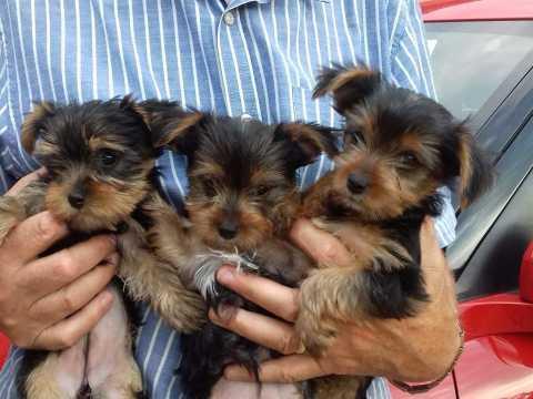 Regalo Casa tren Cachorros Yorkshire mini juguete Para Adopcion
