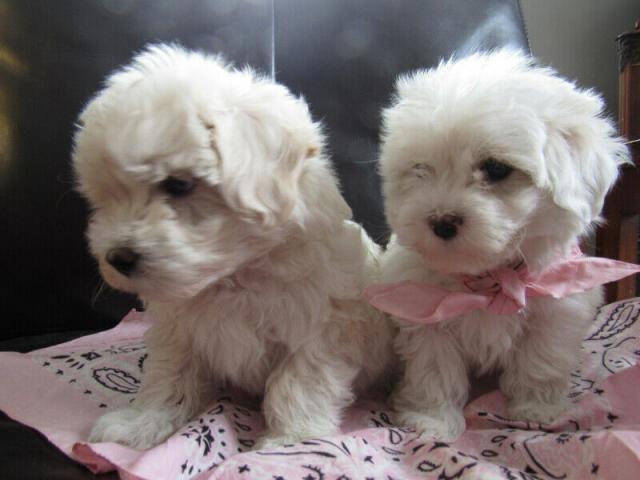 Cachorros de regalo moltipoo para hogares de mascotas (Maltés x C