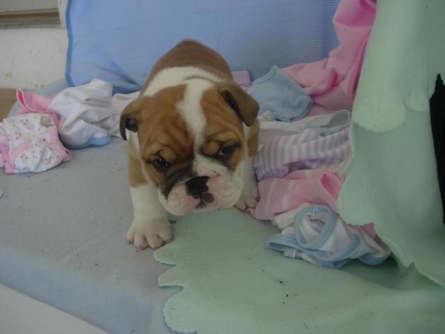 Regalo Cachorros de Bulldog Ingles de muy buenas lineas