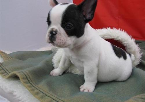 Regalo Bonitos cachorros de bulldog frances