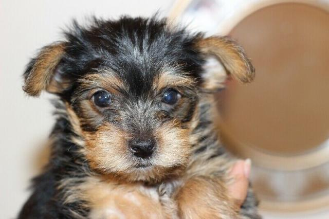Regalo Cachorros Yorkshire Terrier Mini To para su adopcion libr