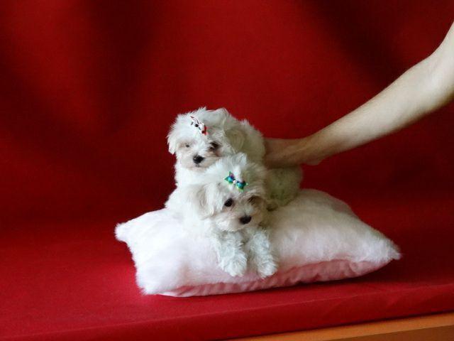 Regalo mini toy cachorros bichon maltes macho y hembra