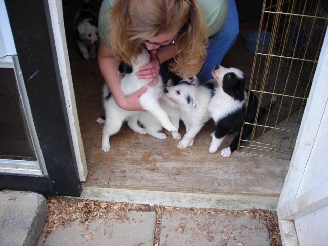 Regalo Border Collie cachorros de calidad nacional