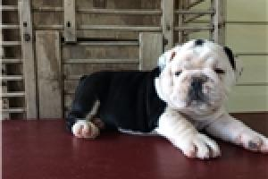 REGALO CAMADA BULLDOG INGLES