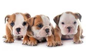 Regalo Economicos Cachorros Bulldog Frances
