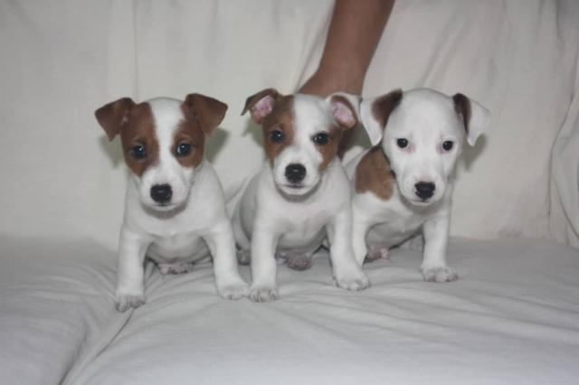 Regalo Cachorros Cachorros Jack Russell