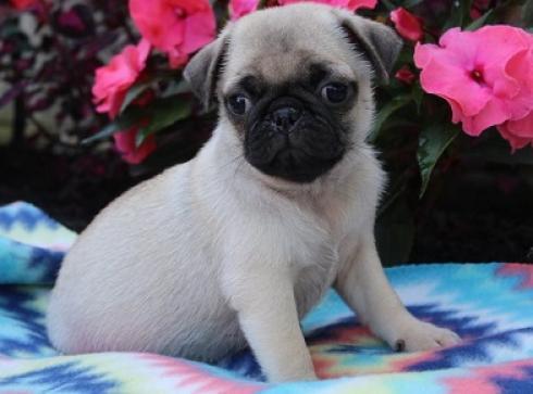 cachorros de pug carlino saludables para adopción
