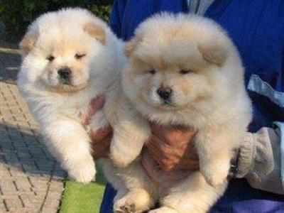 Regalo Camada Cachorros Chow Chow,