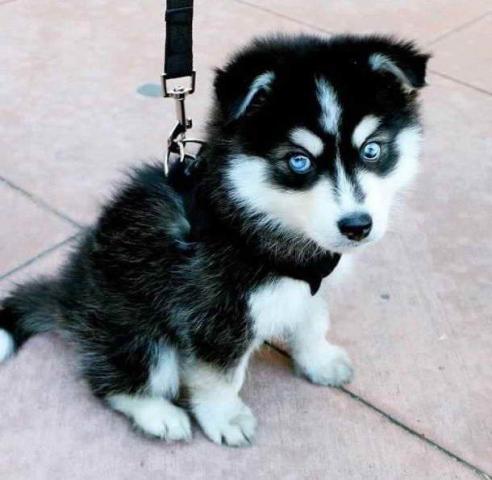 Regalo macho y hembra cachorros husky siberiano en adopcion