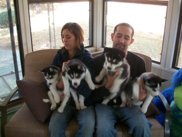 Ojos azules cachorros husky siberiano para la adopción