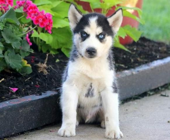 Regalo Casa tren Cachorros Husky Para Adopcion