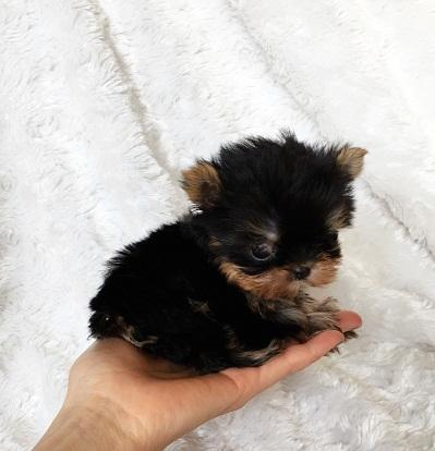 Yorkshire Terrier Mini Toy,