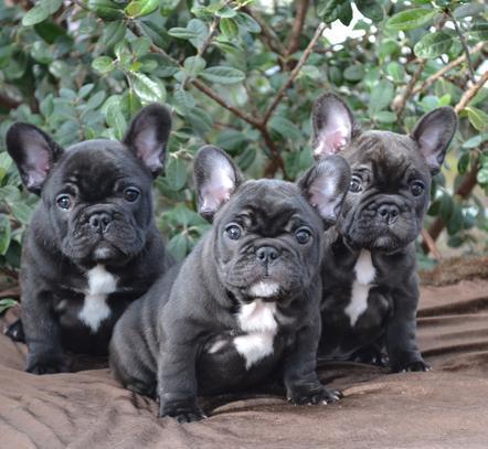 Regalo Economicos Cachorros Bulldog Frances,