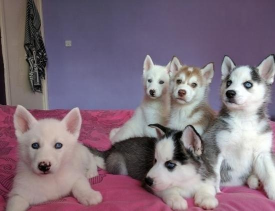 Cachorros de husky siberiano para regalo j