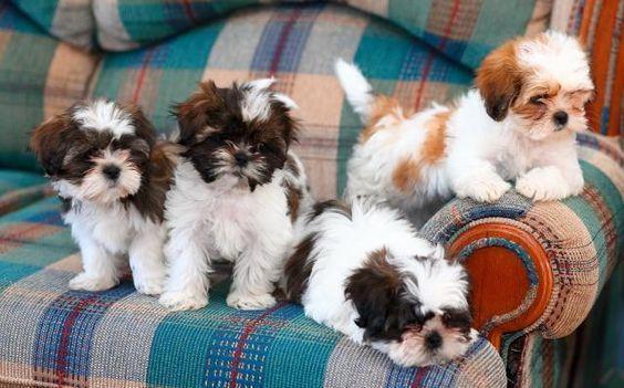 Regalo Casa tren Cachorros Shih Tzu mini juguete Para Adopcion