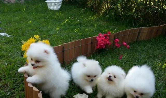 Regalo Casa tren Cachorros Pomerania mini juguete Para Adopcion