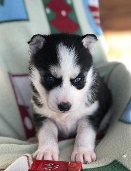 hermosos cachorros de husky siberiano para adopción