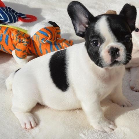 Regalo Cachorros de Bulldog Francés Gratis