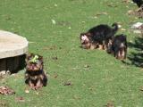 Yorkshire terrier minis para estas Fiestas