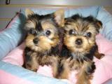 Hermosa camada de cachorros yorkshire toy