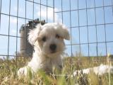 cachorros nacionales de bichon maltes,pequeñitos, buen pedigree