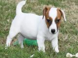 Saludables Jack Russell cachorros